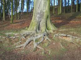 A picture of massive roots protruding out of the ground.